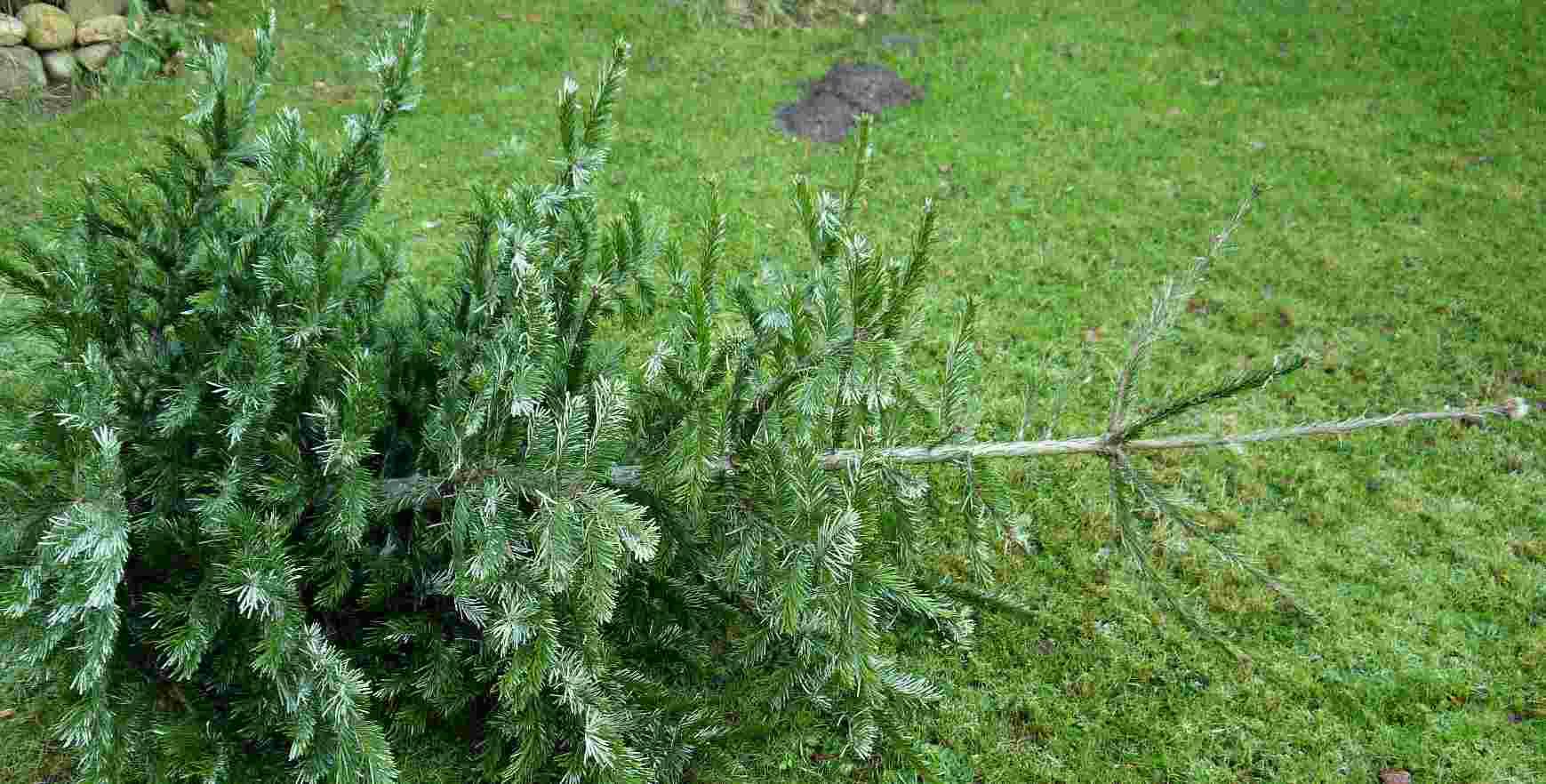 Weihnachtsbaum Ade in Hamburg Duvenstedt