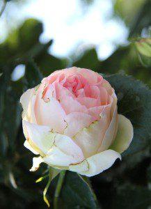 Die Eden Rose