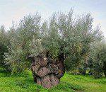 Ein alter Olivenbaum