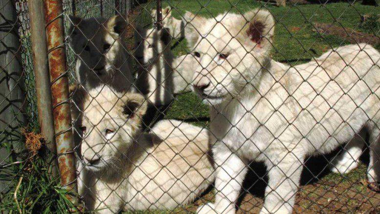 Bood Lions