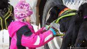 Ein Mädchen spannt die Hunde an