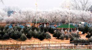 Tannenbaumverkauf auf dem Erdbeerhof Glantz