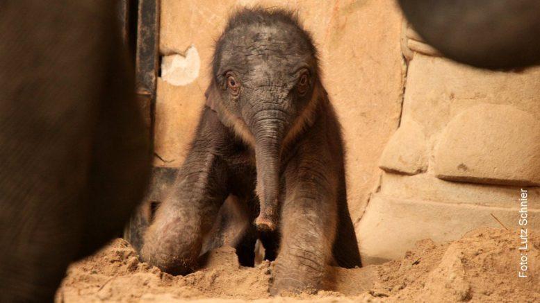 Neugebohrenes Elefanten-Baby