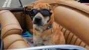 Hund im Auto mit Brille