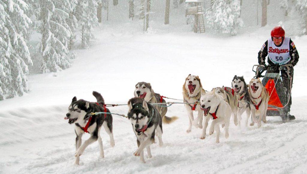 Hundeschlittenrennen im Schnee im Schwarzwald