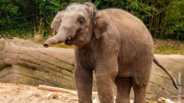 Elefantenbulle Kanja im Tierpark Hagenbeck