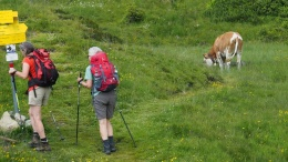 Wanderer mit Kühen