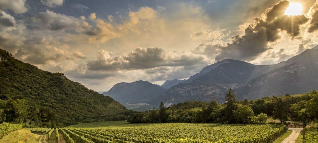 Ein Weinberg in Italien