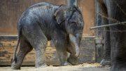 Ein kleiner neugeborener Elefantenbulle