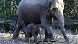 Elefantenkalb mit Elefantenmutter