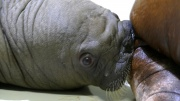 Frischgeborener Walross Bulle im Tierpark