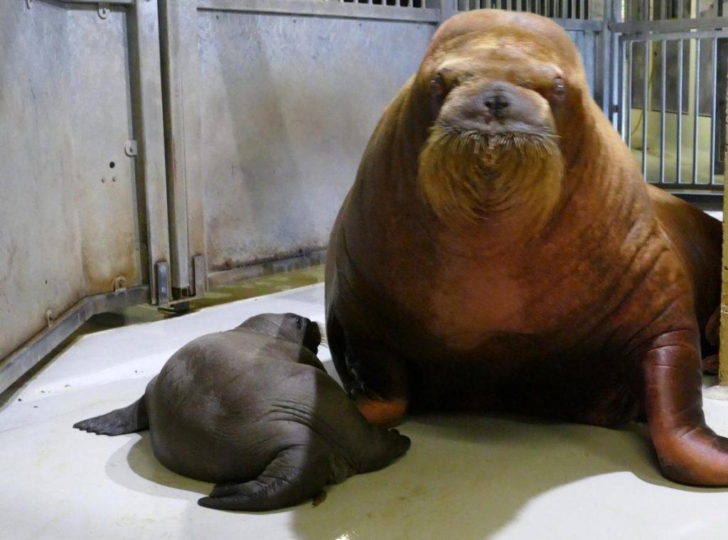 Neues Walross Baby im Tierpark Hagenbeck - Mutter mit Jungbullen
