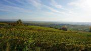 Wein aus der Pfalz, ein Weinberg