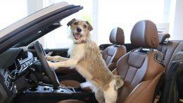 Hunde am Lenkrad eines Audi Cabrio