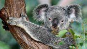 Ein Koala-Bär im Baum