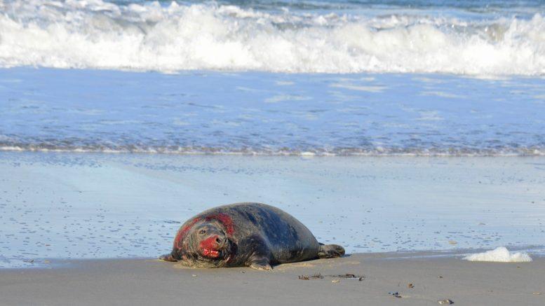Robbenbullen am Nordseestrand vom Kampf mit anderen Bullen gezeichnet