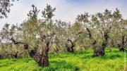 Ein Olivenhain mit alten Bäumen