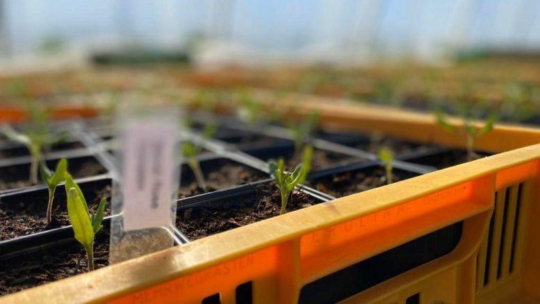 Junge Kürbispflanzen