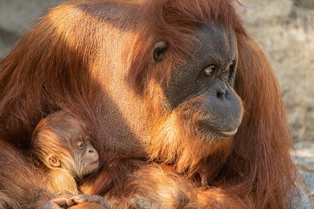 Urang-Utan Mutter liebkost ihr Affenjunges im Tierpark Hagenbeck