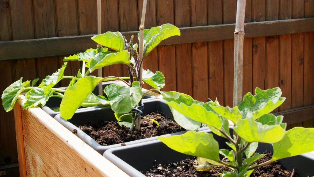 Zwei Gemüsepflanzen im Hochbeet