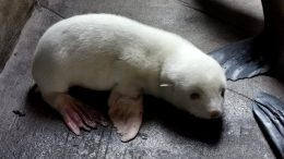 Seebärenbaby Albino mit weißem Fell