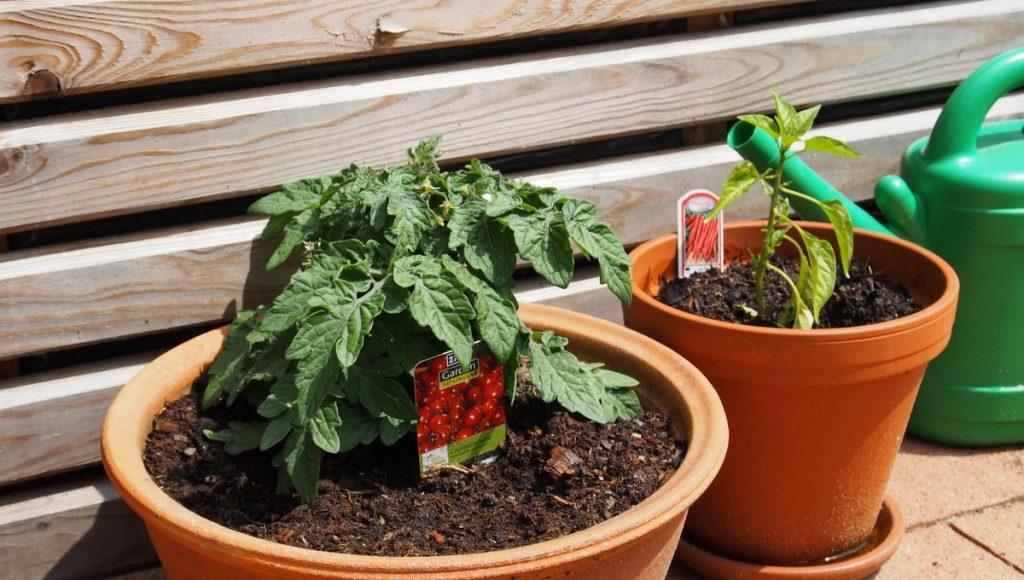 Im Topf eine Tomaten und ein Pepperoni Pflanze