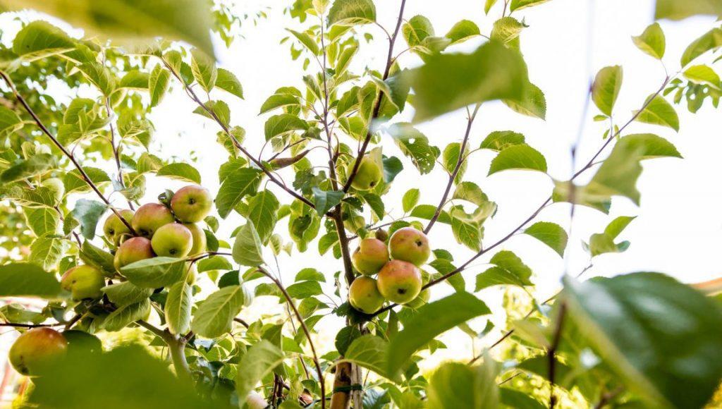 Apfelbaum in Hamburg