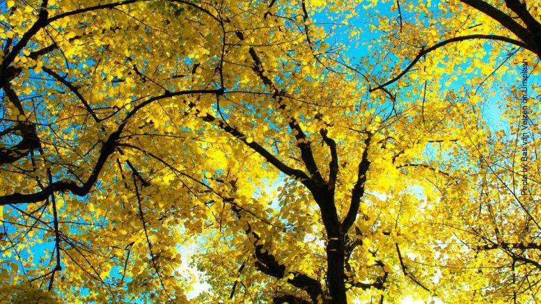 Baum mit gelben Herbstlaub im Gegenlicht
