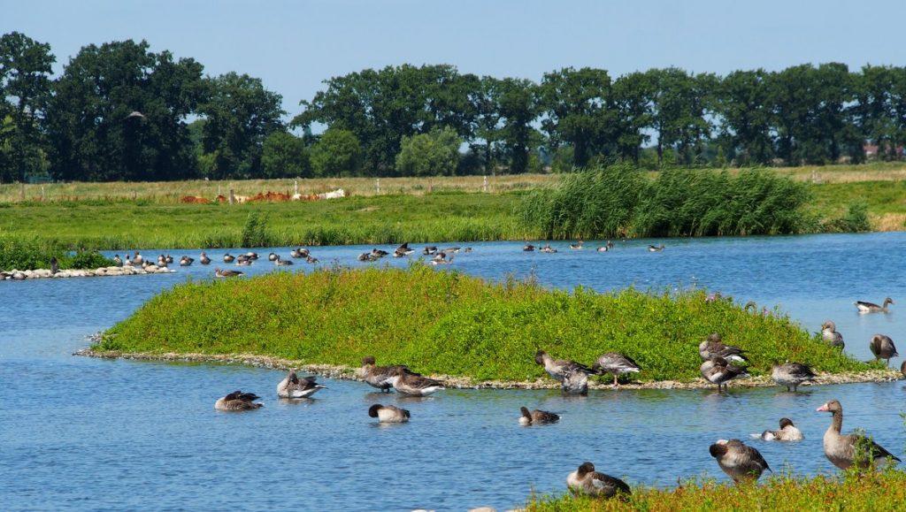 Wasservögle im Naturschutzgebiet Wedeler Marsch