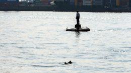 Schweinswale im Hamburger Hafen im April 2021
