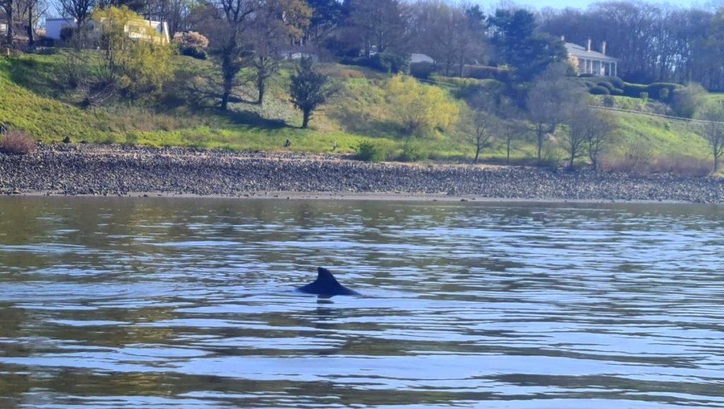 Schweinswal schwimmt in der Elbe