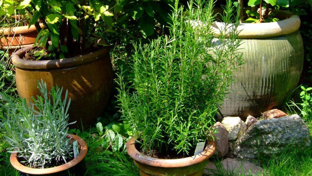 Mediterane Pflanzen im Topf