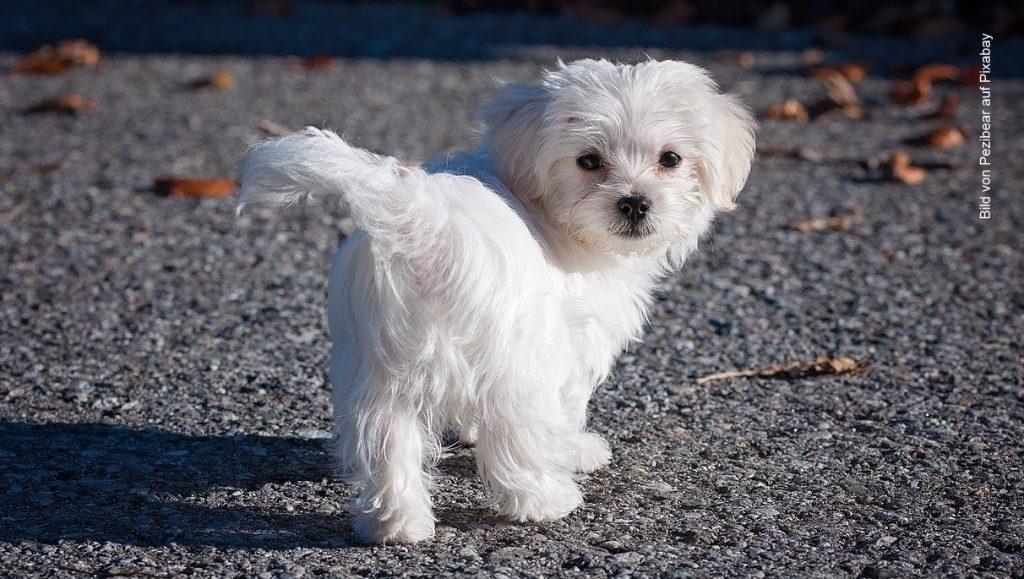 Weißer Malteser Hund